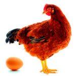 Tips Trik Sukses Beternak Ayam Petelur