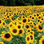 Tips Tanam Benih Bunga Matahari