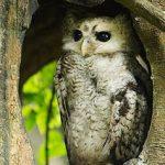Manfaat Burung Hantu Tyto Alba Javanica Untuk Petani