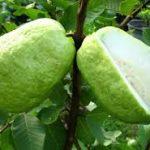Agar Pohon Jambu Kristal Cepat Berbuah