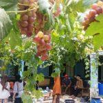 Agar Tanaman anggur Cepat Berbuah