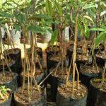 Tips Tanam Durian Musim Hujan