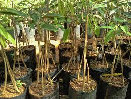 Tips Berkebun Durian