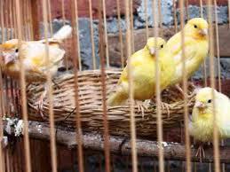 Cara Membuat Pakan Burung Sendiri Berkualitas