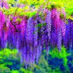 Bunga Wisteria - Apa Bunga Wisteria dan Cara Menanamnya