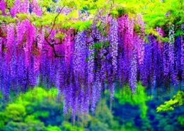 Cara menanam Bunga Wisteria di Indonesia 1