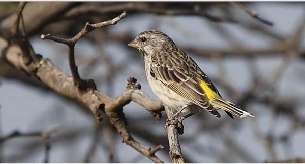 Harga-Burung-Blackhtroat