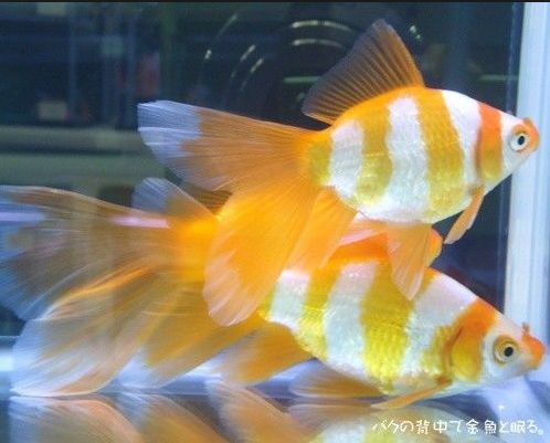 Ikan Komet Harimau - Yellow Tiger Comet Fish