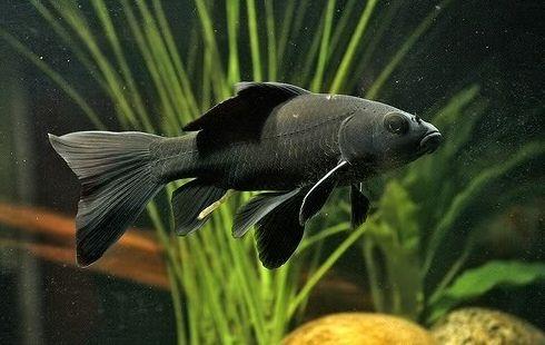 Ikan Komet Hitam - Black Comet Goldfish