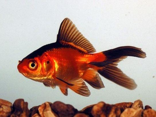 Ikan Komet Merah Hitam - Red Black CometGoldfish