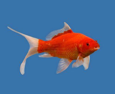 Ikan Mas Komet Merah - Red KometGoldfish