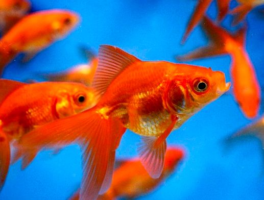 Ikan Mas Komet Merah Slayer - Red Komet Slayer Goldfish