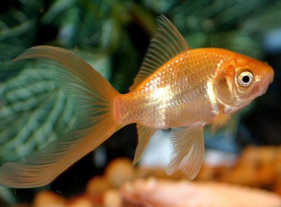 Jenis Ikan Common Comet Goldfish