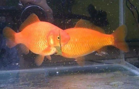 Jenis Ikan Komet Marigold - Merigold CometGoldfish