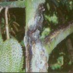 Tips Cara Sembuhkan Pohon durian berlobang