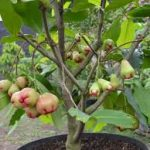 Tips Tabulampot Jambu Air