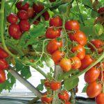 Tips Tanam Tomat