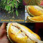 Tips Menanam Durian Musangking