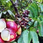 Matoa - Sang Buah Khas Papua
