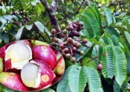 apa manfaat buah matoa untuk kesehatan
