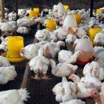 Tips Ternak Ayam