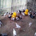 Apa itu Ayam Joper dan Cara Beternak Ayam Joper