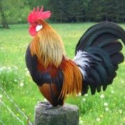 cara budidaya ayam kate