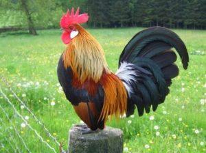 Cara Budidaya Ayam Kate Mudah dan Praktis - Tukang Taman ...