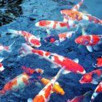 Teknik Budidaya Ikan Koi yang Jitu