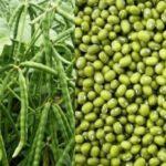 Cara Budidaya Kacang Hijau Sederhana tapi Sukses