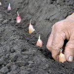 Panduan Cara Menanam Bawang Putih