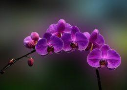 cara menanam budidaya bunga anggrek