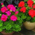 Bunga Geranium - Bagaimana Cara Menanamnya?