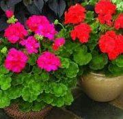 cara menanam bunga geranium anti nyamuk alami 1