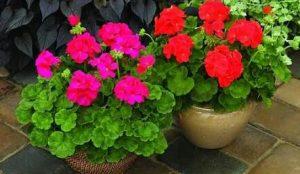 Bunga Geranium – Bagaimana Cara Menanamnya?