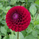Tips Cara Menanam dan Merawat Bunga Dahlia