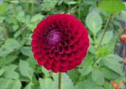 cara menanam dan merawat bunga dahlia