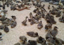 cara ternak bebek