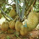 Durian Musangking vs durihitam vs bawor