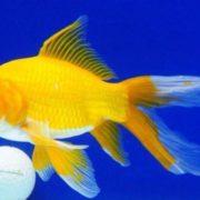 ikan komet yellow - yellow comet go