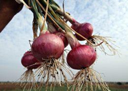 panduan cara budidaya bawang merah