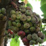 Tips Cara pohon tin Berbuah Lebat