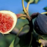 Tips Cara Menanam Buah Pohon Tin Supaya Buahnya Lebat