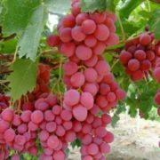 Cara-Budidaya-Anggur-Merah
