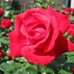 Panduan Cara Menanam Bunga Mawar dengan Stek yang berhasil