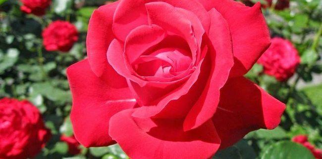 Cara-Menanam-Bunga-Mawar-Merah-yang-Berhasil