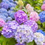 Panduan Cara menanam / Budidaya Bunga Hydrangea dengan Baik