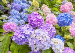 Cara-menanam-budidaya-Tanaman-bunga-hydrangea