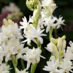 Bunga Sedap Malam - Harga dan Cara Budidayanya