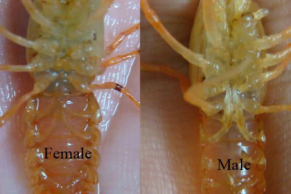 cara beternak budidaya lobster air tawar